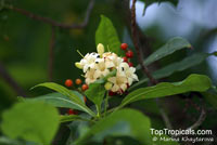 Fagraea fragrans, Cyrtophyllum fragrans, Tembusu, Ironwood  Click to see full-size image