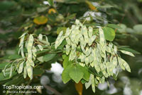 Dalbergia cochinchinensis, Dalbergia cambodiana, Thailand RosewoodClick to see full-size image