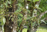 Daphniphyllum griffithianum, Daphniphyllum laurinum, DaphniphyllumClick to see full-size image