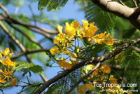 Delonix regia var. flavida, Golden Royal Poinciana, Yellow Poinciana  Click to see full-size image