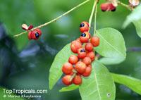 Dictyoneura obtusa, Dictyoneura obtusa  Click to see full-size image