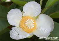 Dillenia indica - Elephant Apple