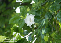 Dolichandrone sp., Mangrove Trumpet Tree  Click to see full-size image