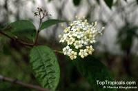 Duperrea pavettifolia, Ixora pavettifolia, Mussaenda pavettifolia, West Indian Jasmine  Click to see full-size image