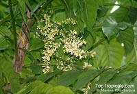 Dysoxylum gaudichaudianum, Ivory Mahogany  Click to see full-size image