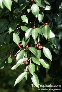 Ficus kurzii, Burmese Banyan  Click to see full-size image