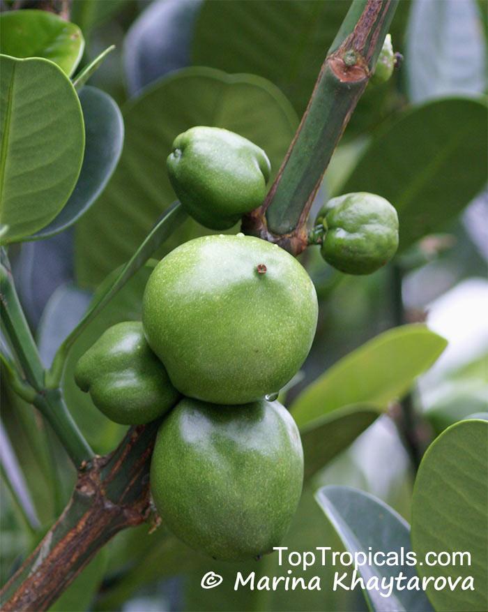 danger of taking garcinia cambogia
