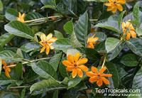 Gardenia mutabilis, Golden Gardenia  Click to see full-size image