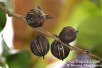 Glochidion macrocarpum, Phyllanthus macrocarpus, Glochidion  Click to see full-size image