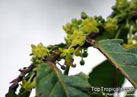 Glochidion sumatranum, Cheesetree, Pin Flower Tree, Sumatran Buttonwood, Umbrella Cheesetree  Click to see full-size image