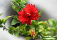 Hibiscus x archeri, Red Hibiscus, Archer's Hibiscus  Click to see full-size image