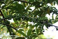 Horsfieldia crassifolia, Myristica crassifolia, Horsfieldia  Click to see full-size image