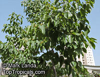 Hovenia dulcis, Japanese Raisin Tree