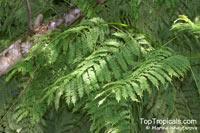 Jacaranda cuspidifolia , Jacaranda  Click to see full-size image