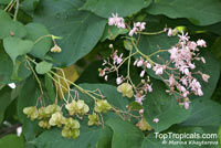 Kleinhovia hospita, Kleinhovia serrata, Grewia meyeniana, Guest Tree,Tan-ag  Click to see full-size image
