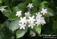 Kopsia sp., White OleanderClick to see full-size image