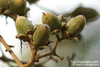 Lagerstroemia floribunda, Kedah Bungor, Crepe Myrtle  Click to see full-size image