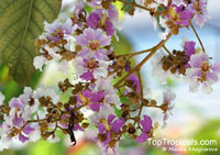 Lagerstroemia floribunda - Pink Crape Myrtle  Click to see full-size image