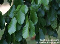 Lansium domesticum, Langsat, Longkong, LanzonesClick to see full-size image