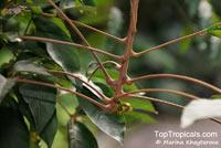Lepisanthes rubiginosa, Sapindus rubiginosa, Erioglossum rubiginosum , Rusty Sapindus  Click to see full-size image