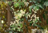 Licania tomentosa, Oiti  Click to see full-size image