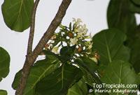 Limahlania crenulata, Fagraea crenulata , Cabbage Tree, Malabera  Click to see full-size image