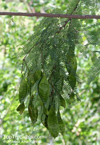 Lysiloma latisiliquum, Acacia bahamensis, Acacia formosa, Acacia latisiliqua, Leucaena latisiliqua, Lysiloma bahamensis, Lysiloma latisiliqua, Mimosa latisiliqua, Bahamas Lysiloma, Candelon, False Tamarind, Wild Tamarind  Click to see full-size image