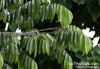Maasia glauca, Monoon glaucum, Polyalthia glauca, Polyalthia merrittii, Polyalthia parkinsonii, Unona merrittii, Uvaria glauca, Maasia  Click to see full-size image