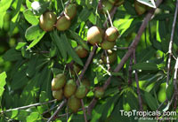 Madhuca longifolia, Indian Butter Tree, Ippe, Mahua Butter Tree, Moah Tree, Mowra Butter Tree  Click to see full-size image