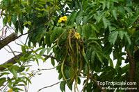 Markhamia lutea, Gold Markhamia, Yellow Bell Bean Tree   Click to see full-size image