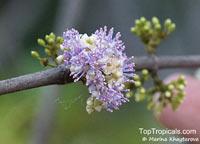 Memecylon edule, Memecylon globiferum, Memecylon pyrifolium, Ironwood Tree, Delek Air  Click to see full-size image