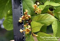 Mitrephora teysmannii, Maingay Mitrephora  Click to see full-size image