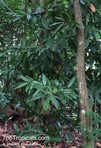 Monoon hookerianum, Polyalthia hookeriana, Monoon  Click to see full-size image