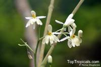 Moringa oleifera, Moringa pterygosperma, Horseradish tree, Ben Oil Tree, Coatli, Drumstick tree, Bridal veil  Click to see full-size image