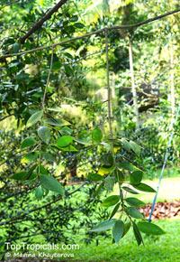 Nageia motleyi, Podocarpus motleyi, Nageia  Click to see full-size image