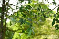 Nageia motleyi, Podocarpus motleyi, NageiaClick to see full-size image