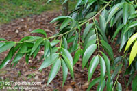 Nageia wallichiana, Nageia blumei, Podocarpus blumei, Podocarpus wallichianus, Nageia  Click to see full-size image
