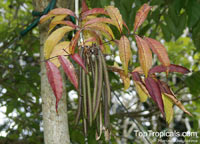 Newbouldia laevis, African Border Tree, Akoko Tree, NewboldiaClick to see full-size image
