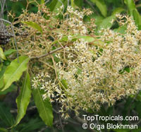 Nuxia floribunda, Forest Elder, Forest Nuxia, Wild Elder  Click to see full-size image