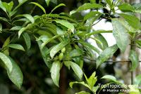Ochrosia sp., Ochrosia  Click to see full-size image