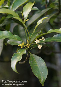 Ochrosia sp., OchrosiaClick to see full-size image