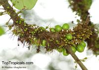 Palaquium obovatum, Isonandra obovata , White GuttaClick to see full-size image
