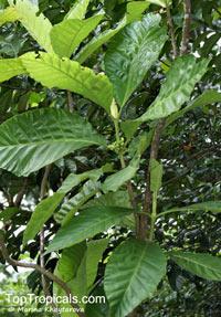 Pentagonia grandiflora, Pentagonia gigantophylla, Pentagonia  Click to see full-size image