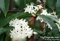 Phaleria clerodendron, Scented Daphne  Click to see full-size image