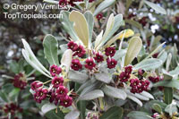 Pittosporum crassifolium, Stiffleaf Cheesewood, Karo  Click to see full-size image