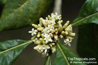 Pittosporum moluccanum, Pittosporum timorense, Pittosporum  Click to see full-size image