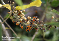 Pittosporum ramiflorum, Pittosporum  Click to see full-size image