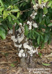 Pleiocarpa mutica, Kanwene  Click to see full-size image