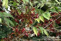 Monoon sclerophyllum, Polyalthia sclerophylla, Polyalthia  Click to see full-size image