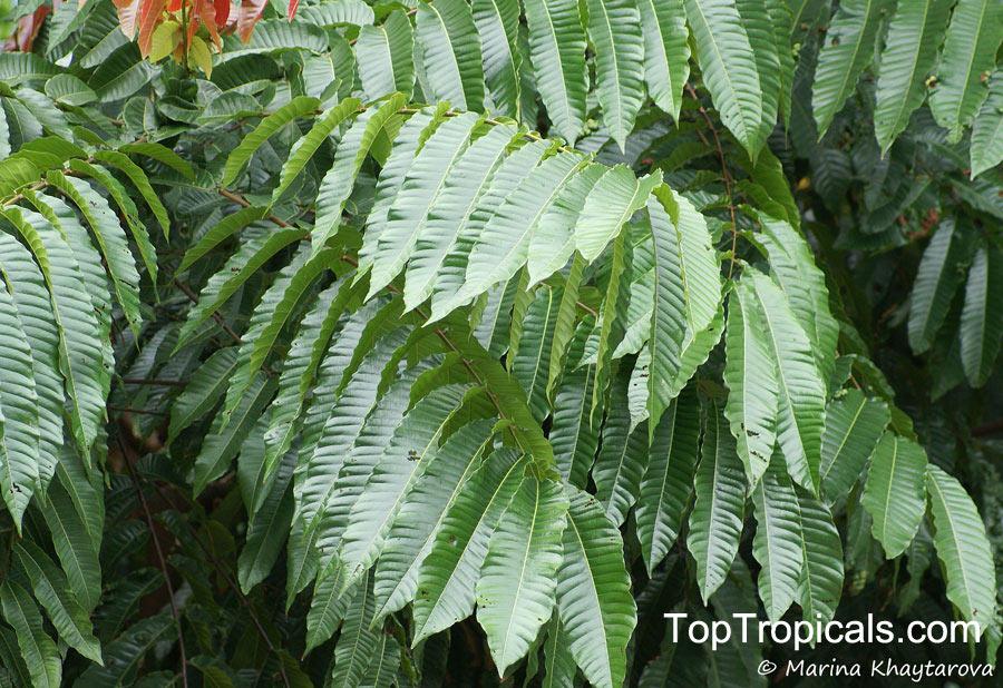 Pometia pinnata, Nephelium pinnatum, Dabanus acuminatus
